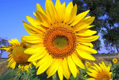 sun-flower-265310_1280ひまわり