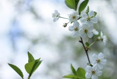 cherry-flowers-799950_1920さくらb