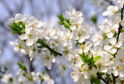 spring-flowers-714724_1920さくらh