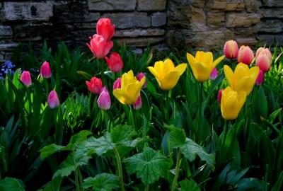 tulips-288228_1920ちゅうリップ