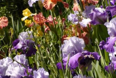 garden-455409_1920菖蒲