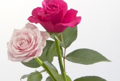 gft0032-026薔薇2本