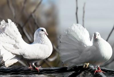 pigeons-1355123_1280鳩2
